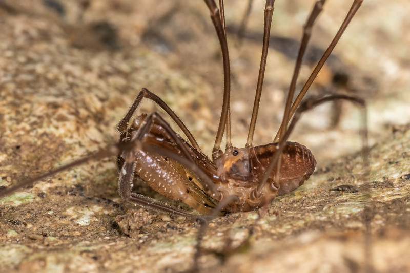 Harvestman (Forsteropsalis photophaga) adult male. Ruakuri Track, Waitomo.