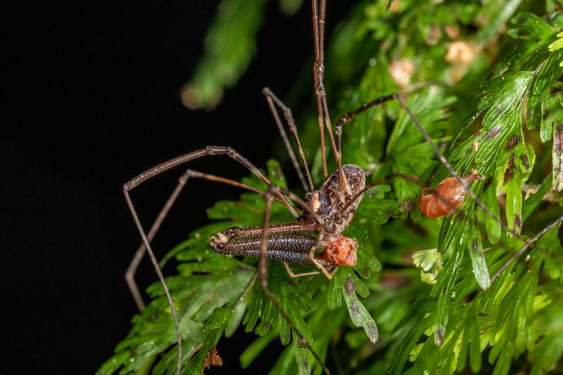 Harvestman (Forsteropsalis pureora) predating on landhopper (Family Talitridae). Mangahopue Arch Track, Waitomo.