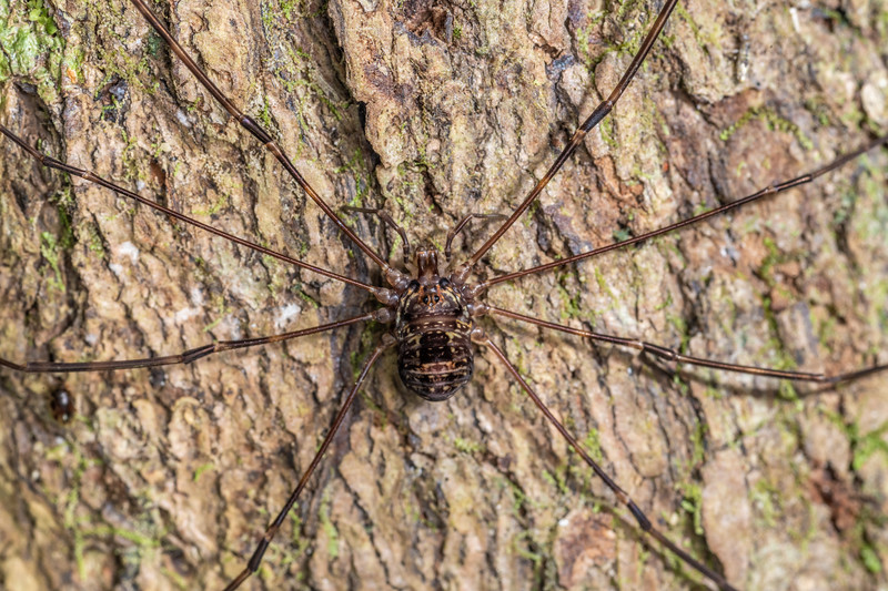 Harvestman (Forsteropsalis pureora) adult female. Tangihua Hut, Tangihua Forest, Northland.