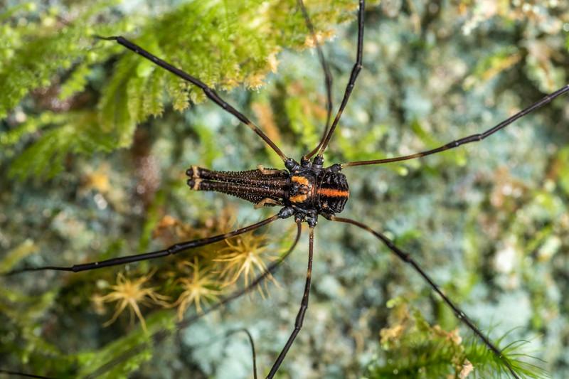 Harvestman (Forsteropsalis pureora). Mangahopue Arch Track, Waitomo.