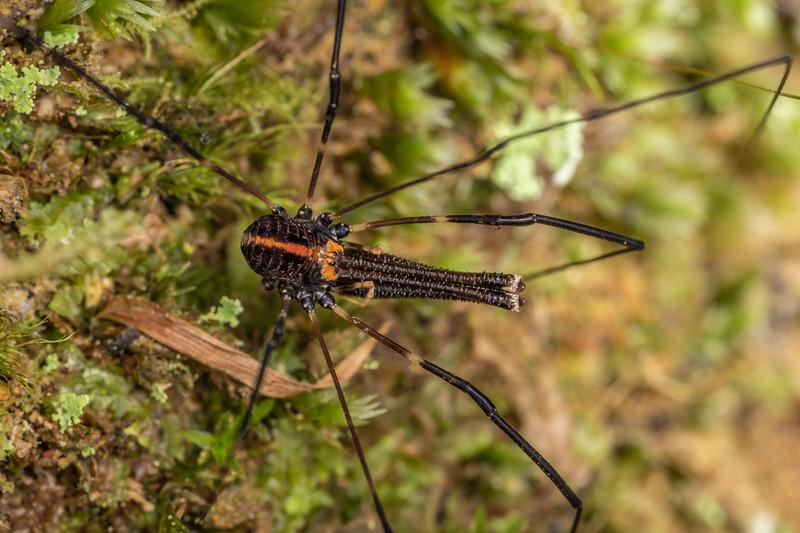 Harvestman (Forsteropsalis pureora) male. Waterworks Walk, Ngaruawahia.