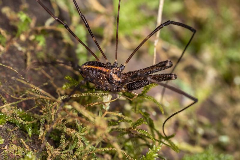 Harvestman (Forsteropsalis pureora) adult male. Te Whare Okioki, Kaimai Range, Waikato.