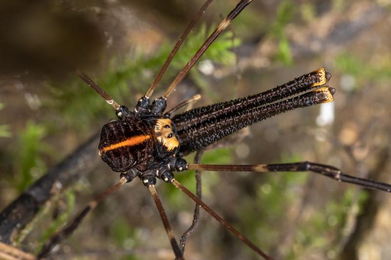 Harvestman (Forsteropsalis pureora) adult male. Waterworks Walk, Ngaruawahia.