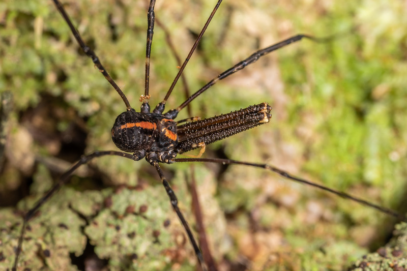 Harvestman (Forsteropsalis wattsi) adult male. Cullen Point Track, Havelock, Marlborough Sounds.