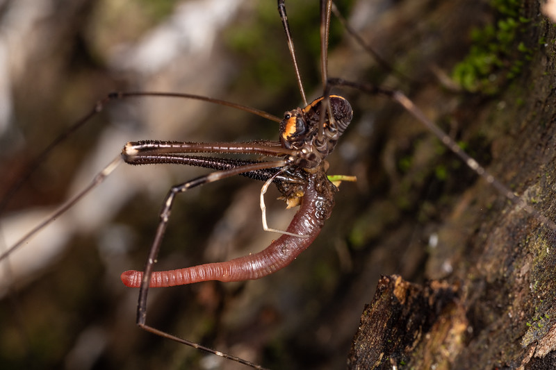 Harvestman (Forsteropsalis wattsi) adult male predating on annelid. Nydia campsite, Nydia Bay, Marlborough Sounds.
