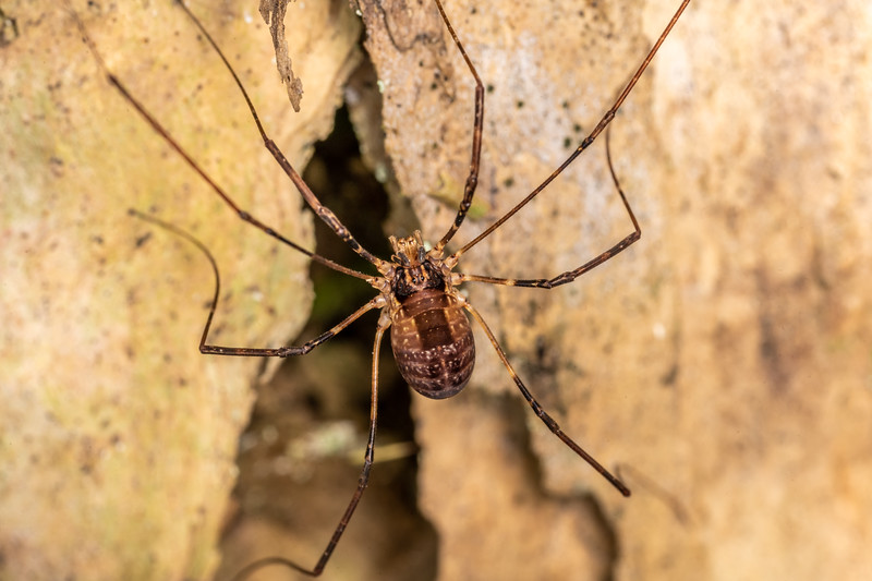 Harvestman (Forsteropsalis wattsi) adult female. Nydia campsite, Nydia Track, Marlborough Sounds.