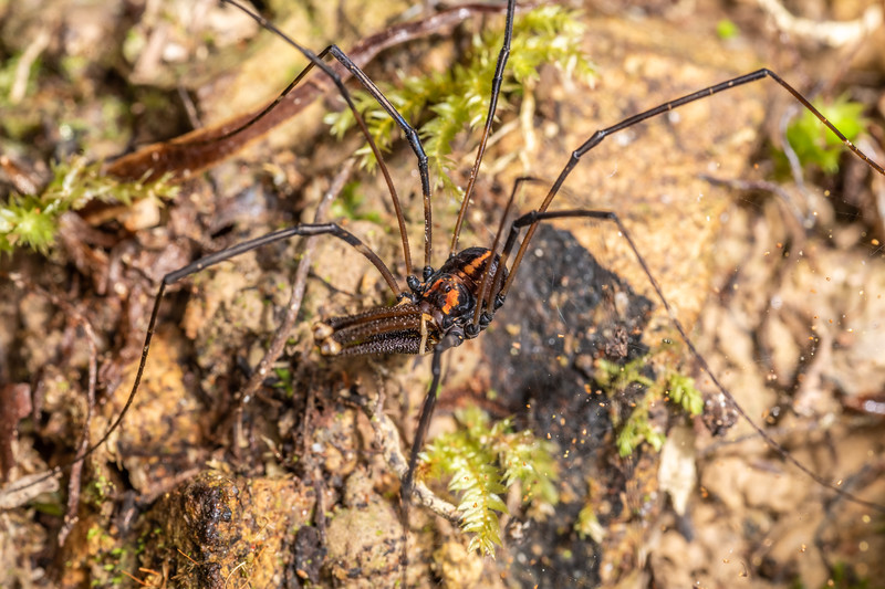 Harvestman (Forsteropsalis wattsi) adult male. Duncan Bay, Nydia Track, Marlborough Sounds.