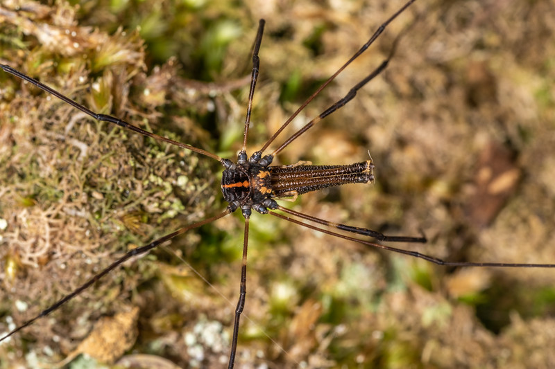 Harvestman (Forsteropsalis wattsi) adult male. Nydia Lodge, Nydia Bay, Marlborough Sounds.