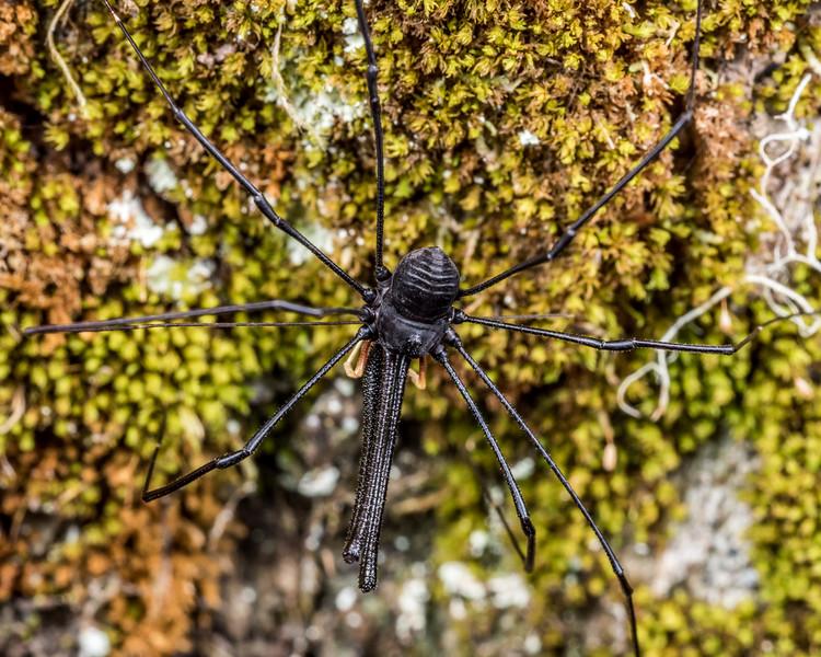 Harvestman (Pantopsalis listeri) male. Lewis Pass.