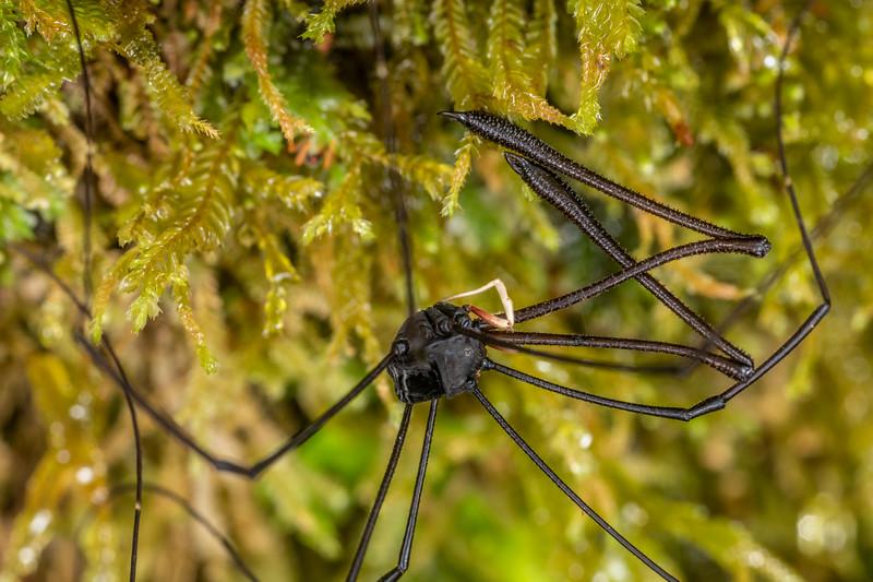 Harvestman (Pantopsalis listeri) adult male. Patea Loop Track, Taranaki.