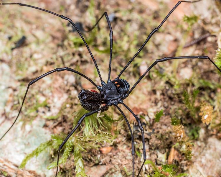 Pantopsalis listeri. Flora Hut, Kahurangi National Park.