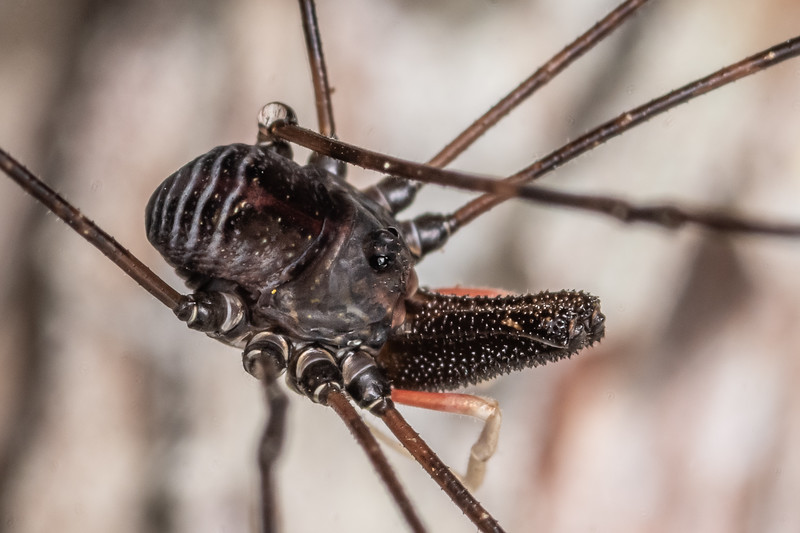 Harvestman (Pantopsalis listeri) adult male. Nydia campsite, Nydia Bay, Marlborough Sounds.
