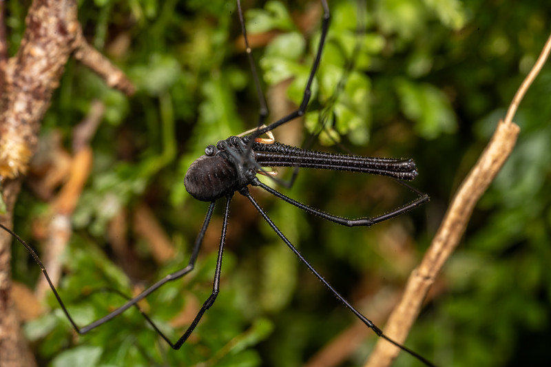 Harvestman (Pantopsalis listeri) adult male. Cozette Burn, Fiordland National Park.