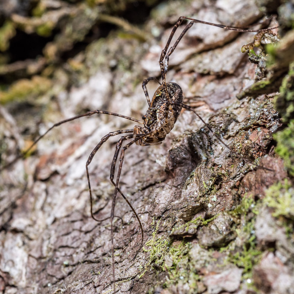 Harvestman (Pantopsalis listeri) female. Matukituki River East Branch, Mount Aspiring National Park.