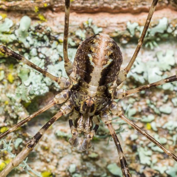 Harvestman (Pantopsalis phocator) female. Thisbe Hut, Catlins Forest.