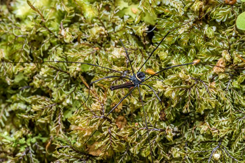 Harvestman (Pantopsalis phocator) male. McLennan Hut, Catlins Forest.