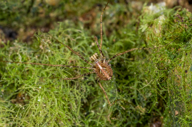 Harvestman (Pantopsalis spp.) juvenile male. Bridle Track, Haast Pass.