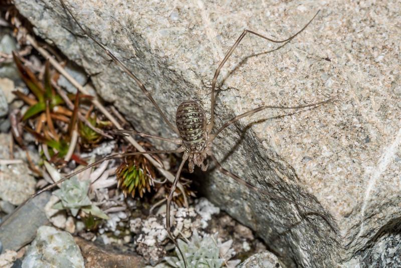 Native harvestman (Forsteropsalis spp.) female. Mount Wakefield, Aoraki / Mount Cook National Park.