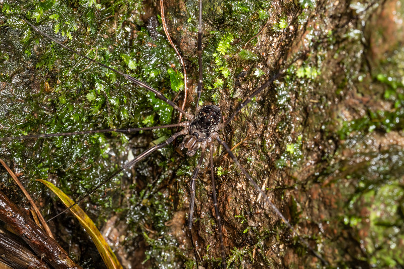 Harvestman (Forsteropsalis sp.) sub-adult male. Sledge track, Palmerston North, Manawatū.