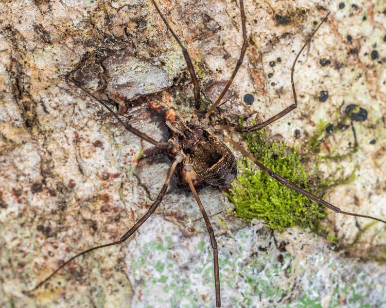 Harvestman (Forsteropsalis sp.). Dawson Falls, Taranaki.