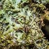 Harvestman (Pantopsalis spp.) female. McLennan Hut, Catlins Forest.
