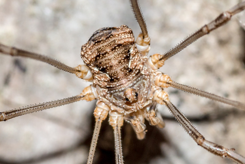 European harvestman (Phalangium opilio). St Croix Falls, WI, USA. Detail of body, enlarged from previous photograph