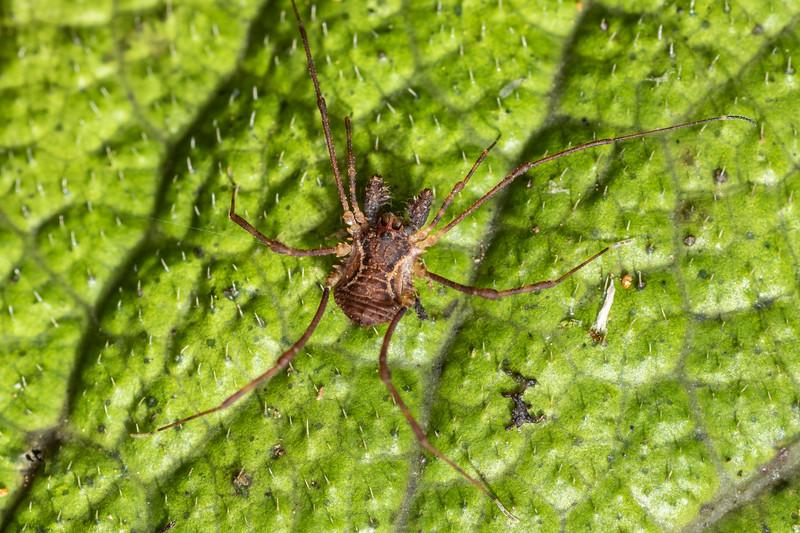 Harvestman (Algidia chiltoni ssp. chiltoni). Marokopa Falls Track, Waikato.