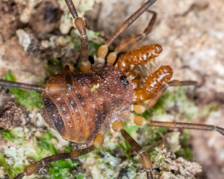 Harvestman (Prasma spp.). Tangihua Hut, Tangihua Forest, Northland.