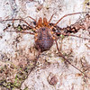 Hard-bodied harvestman (Prasma spp.). St Arnaud, Nelson Lakes National Park.