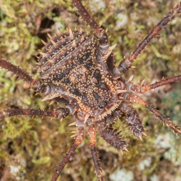 Harvestman (Triregia fairburni). Waipu Caves, Whangarei, Northland.