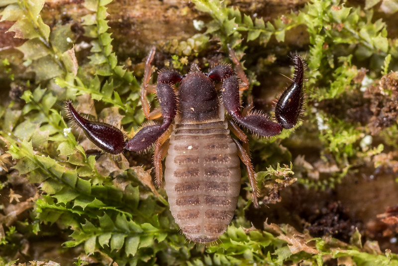 Pseudoscorpion (Order Pseudoscorpiones). OBHS Lodge, Matukituki River West Branch.