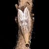 Tailed forest spider (Arachnura feredayi) on egg sac. Junction Flat, Matukituki River East Branch, Mount Aspiring National Park.