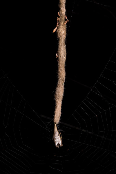 Tailed forest spider (Arachnura feredayi) on egg sac. Junction Flat, Matukituki River East Branch, Mount Aspiring National Park.