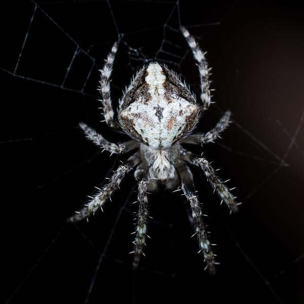 Orbweaver (Araneidae), unidentified. Port Craig, Fiordland National Park.