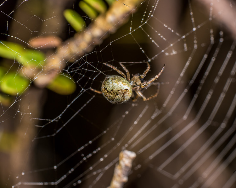 Orbweaver (Family Araneidae). Lake Monk, Fiordland National Park.