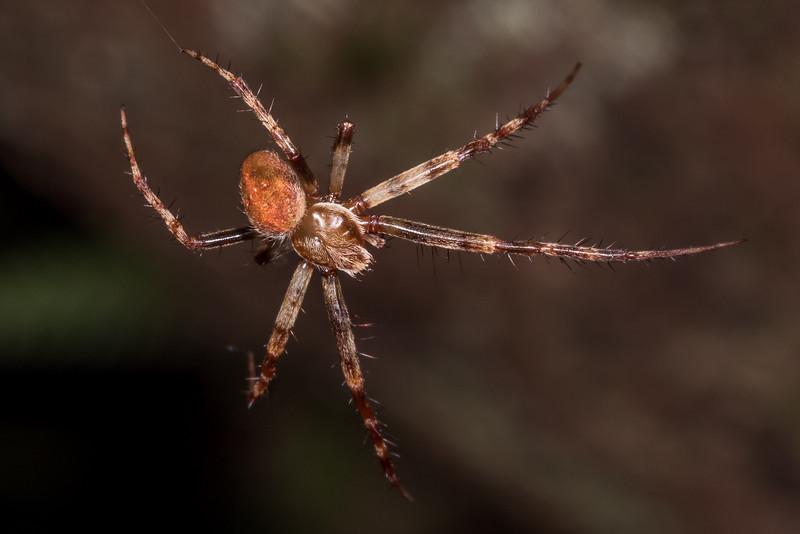 Orbweaver (Family Araneidae). Rangaika Scenic Reserve, Chatham Island.