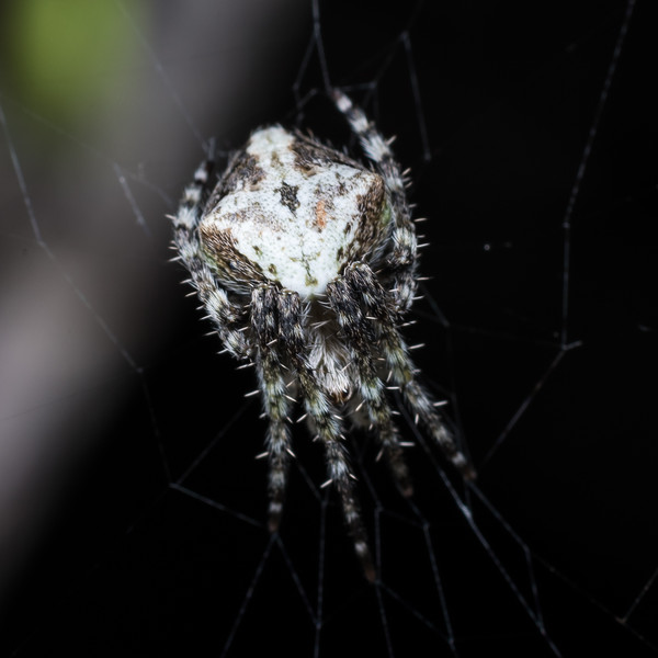 Orbweaver (Araneidae), unidentified. Port Craig, Fiordland National Park.