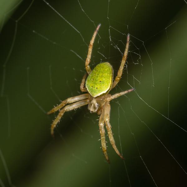 Green orbweb spider (Colaranea viriditas). Sinclair Wetlands, Dunedin.
