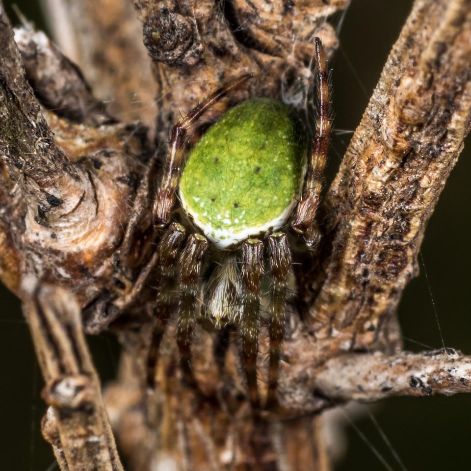 Green orbweb spider (Colaranea viriditas). Deep Stream, Otago.