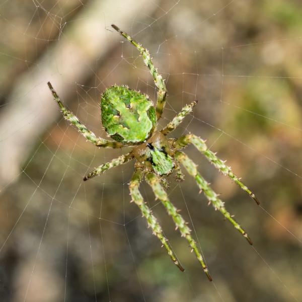 Cryptic orbweaver (Cryptaranea atrihastula). Hinau Track, Kaikōura.