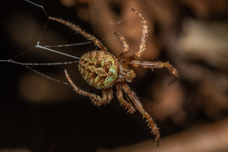 Cryptic orbweaver (Cryptaranea venustula). Puysegur Point, Fiordland National Park.