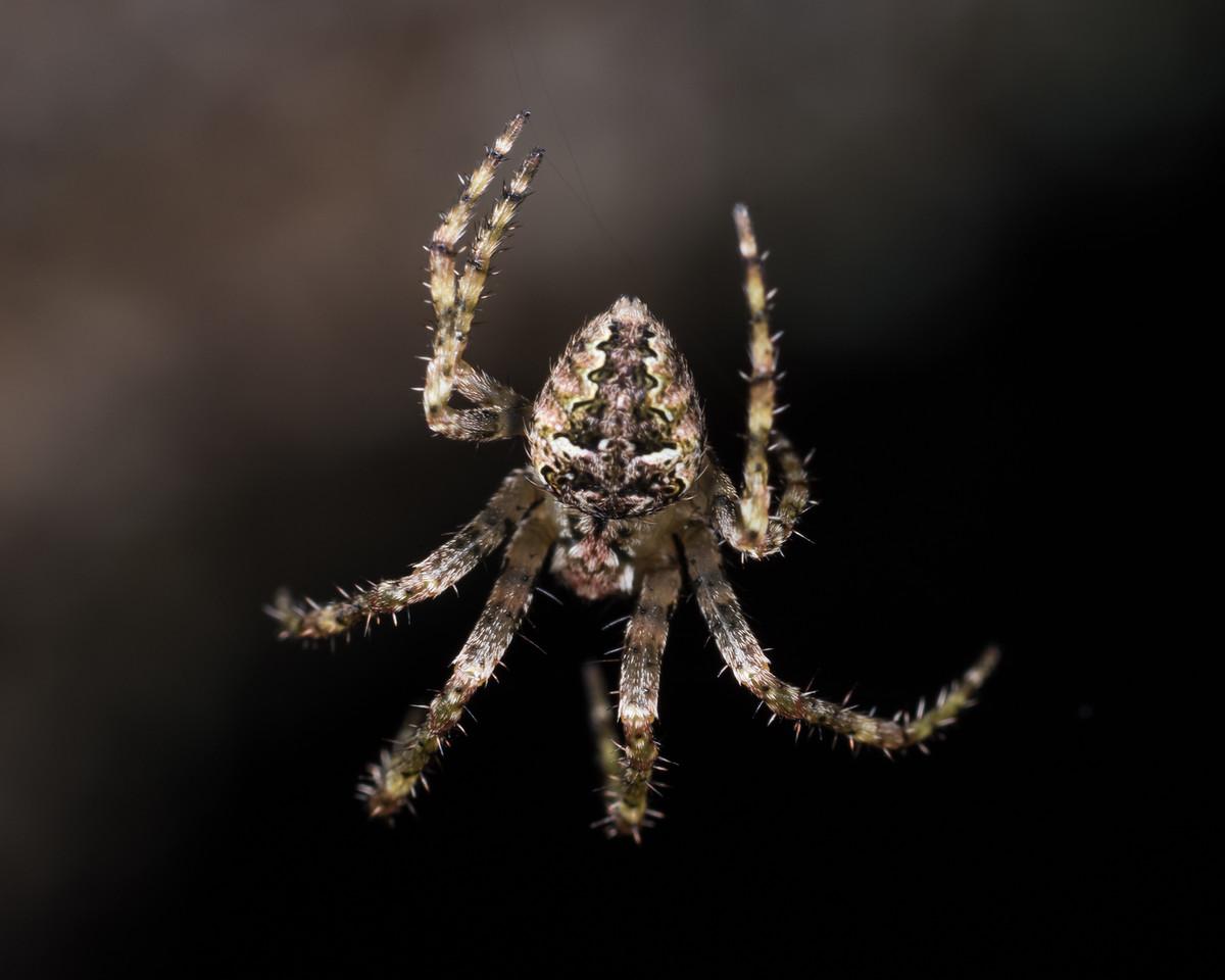 Cryptaranea venustula. Port Craig, Fiordland National Park.