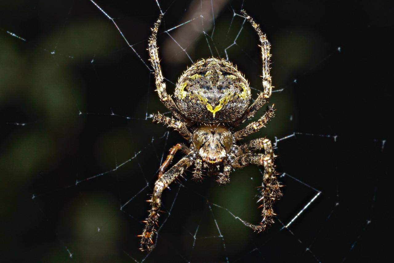 Cryptic orb weaver (Cryptaranea venustula). Opoho, Dunedin.
