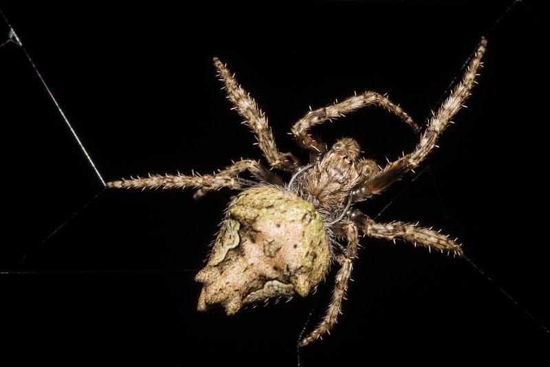 Garden orbweb spider (Eriophora pustulosa). Raspberry Flat, Matukituki River West Branch.