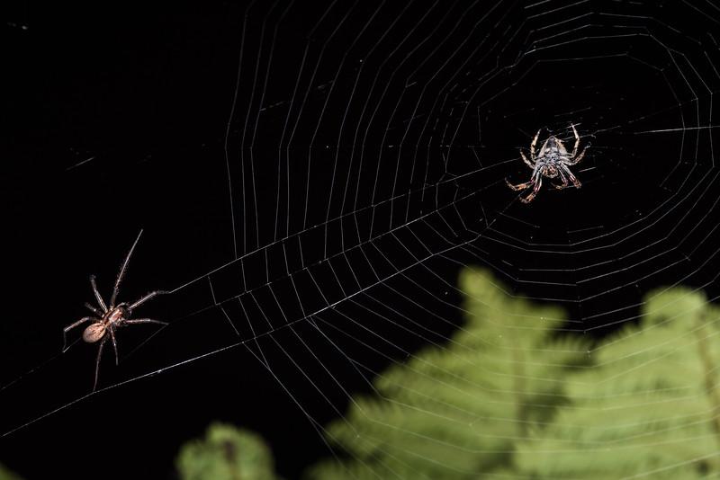 Male sheetweb spider (Cambridgea annulata) venturing onto the web of a female garden orbweb spider (Eriophora pustulosa). Rangaika Scenic Reserve, Chatham Island.