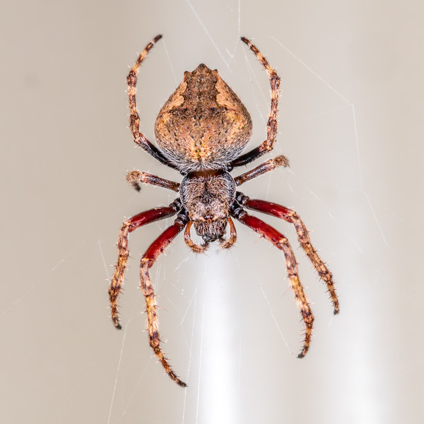 Garden orbweb spider (Eriophora pustulosa). Lake Alabaster, Fiordland National Park.