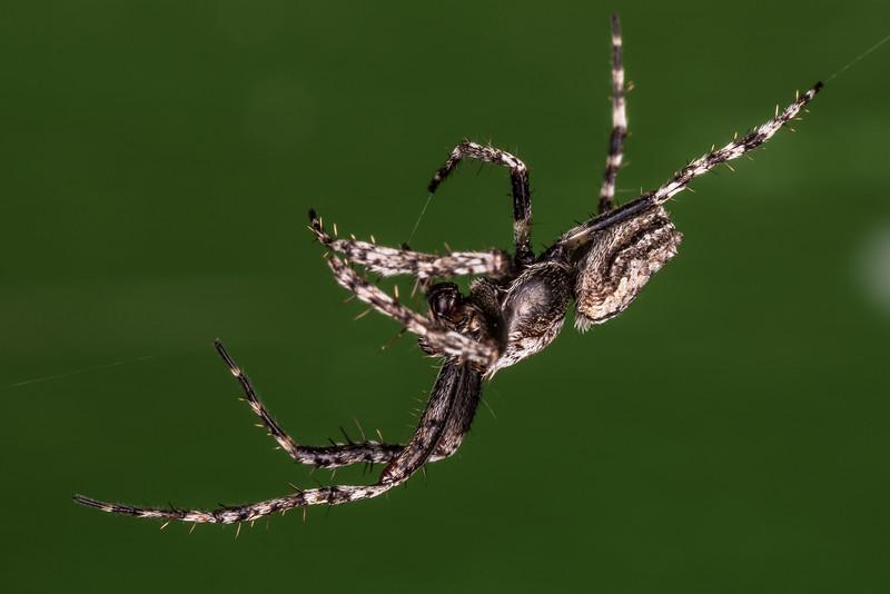 Male garden orbweb spider (Eriophora pustulosa). Gouland Downs Hut, Heaphy Track, Kahurangi National Park.