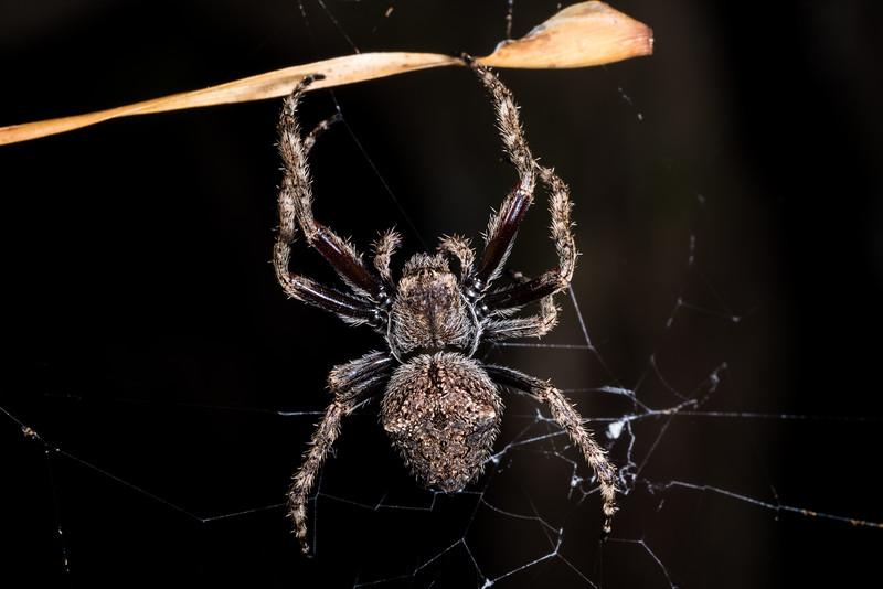 Garden orbweb spider (Eriophora pustulosa). Rangaika Scenic Reserve, Chatham Island.