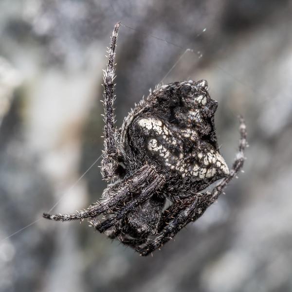 Garden orbweb spider (Eriophora pustulosa). Major Peak, Wakatipu.