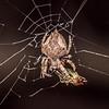 Garden orbweb spider (Eriophora pustulosa). Butchers Dam, Alexandra, Central Otago.